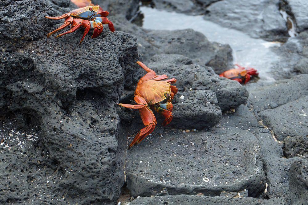 Die Tierwelt von Galapagos: Klippenkrabben an der Nordspitze von Santa Cruz