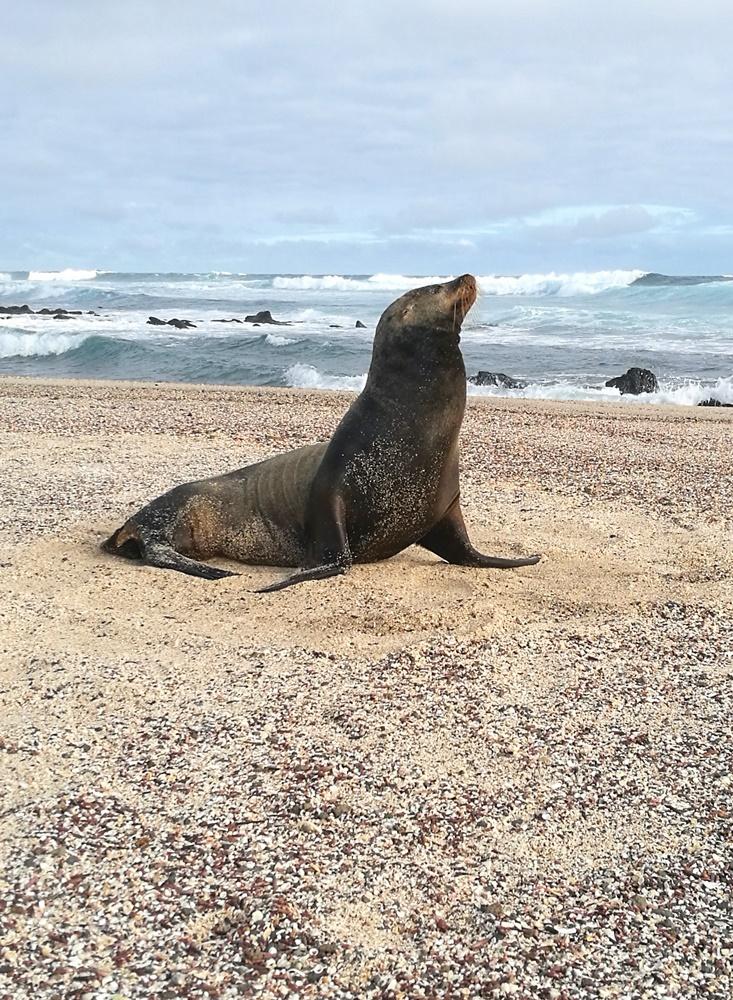 Seelöwe am Strand von La Loberia | Galapagos