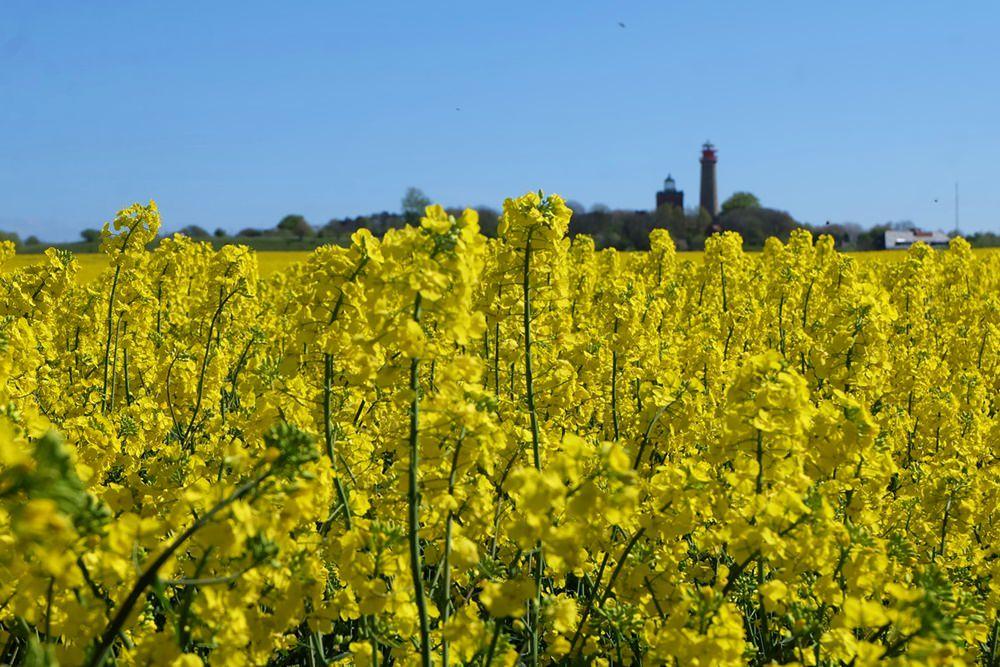 Frühling mit Rapsblüte am Kap Arkona auf Rügen