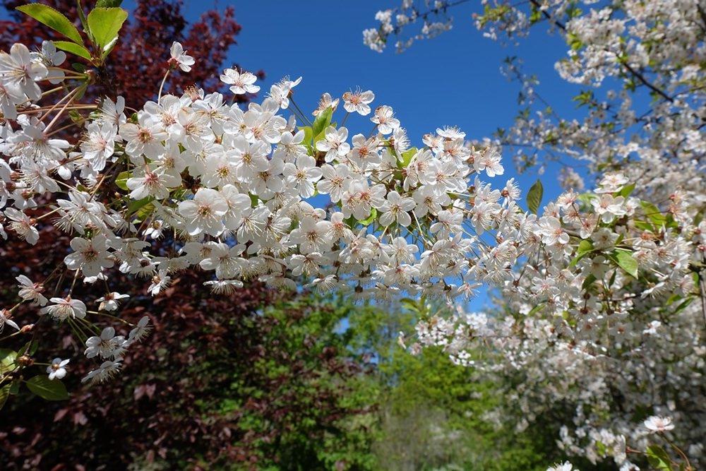 Blühende Bäume im Frühling auf Rügen