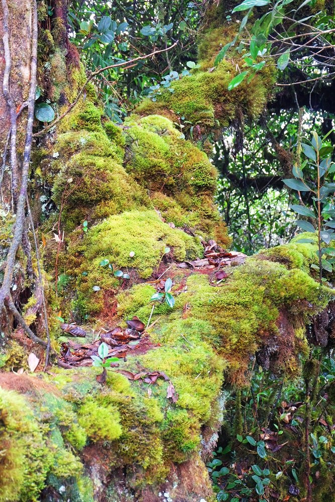 Im Mossy Forest in den Cameron Highlands, Malaysia