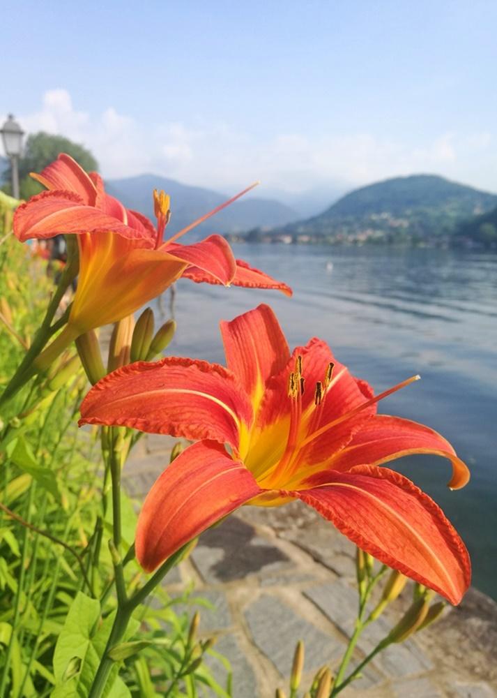 Orangene Blume am lago d'orta, dem kleinen nachbarn des Lago Maggiore