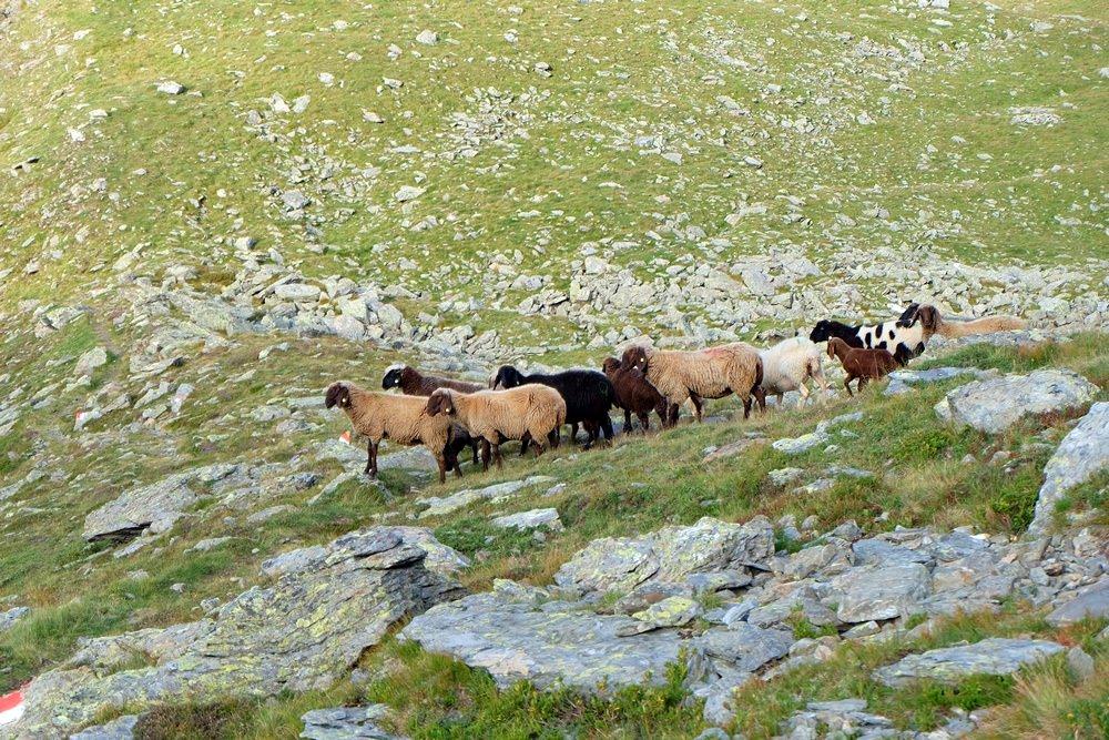 Schafe am Inntaler Höhenweg