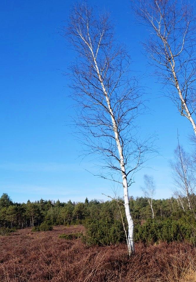 Birken sind robuste anspruchslose Bäume.