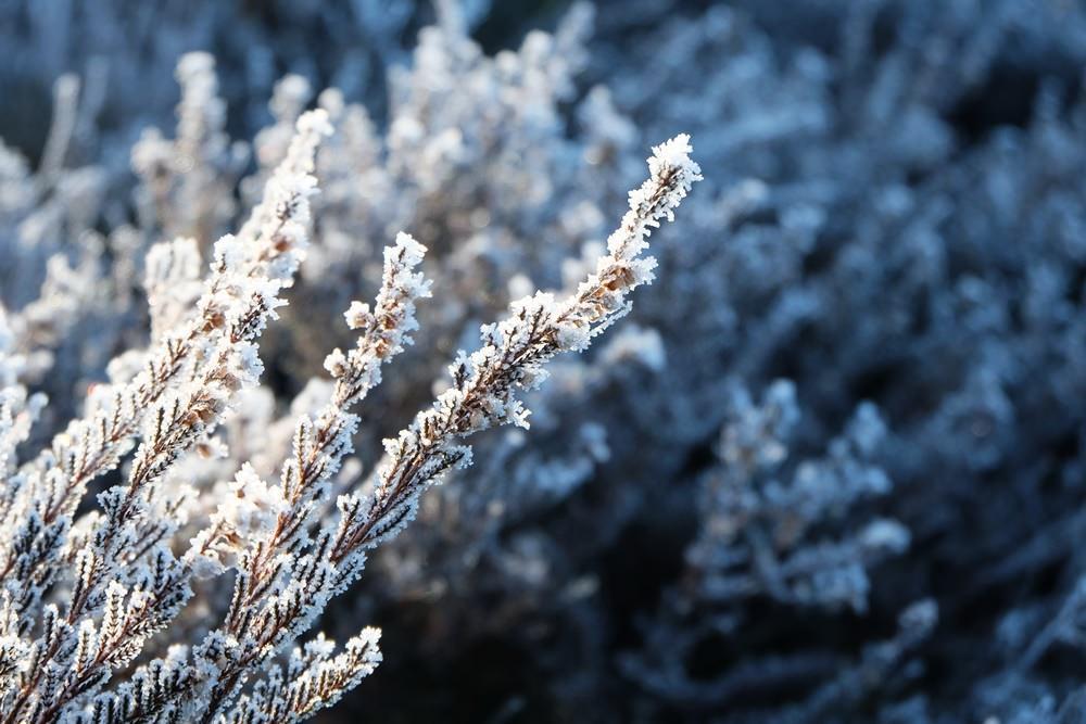 Heide-Pflanzen im Schönramer Filz