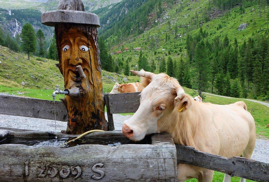 Gelenkig sind sie, die Kühe an der Zandlacher Hütte