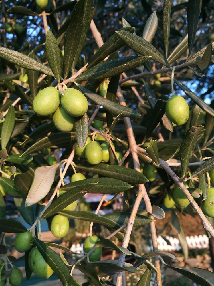 Olivenbaum