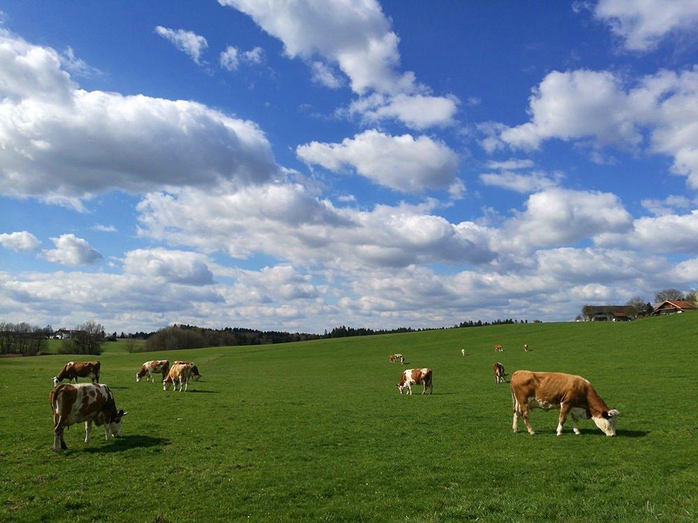 Glückliche Kühe im Frühling am Inn
