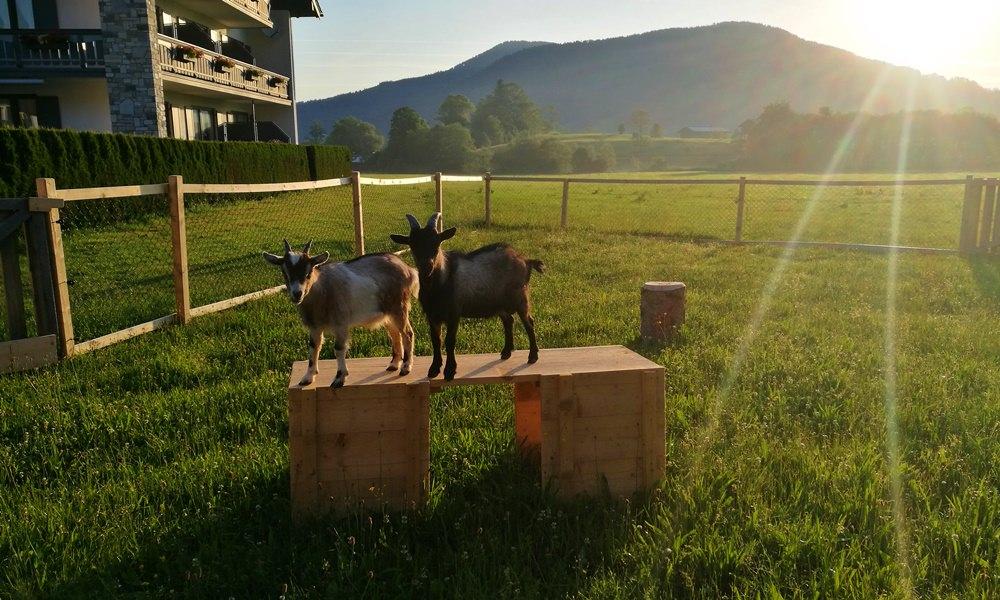 Ziegen am frühen Morgen